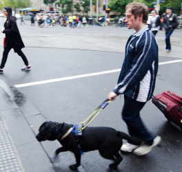 Blind man is led by his guide dog, crossing the road in Melbourne.