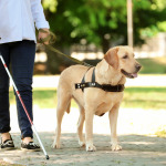 Guide dog helping blind woman in the street
