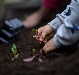 Closeup view of child hands planting beet seedling in to the fertile soil.